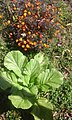 Cauliflower in Uttrakhand.jpg