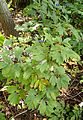 Caulophyllum thalictroides kz2.jpg