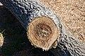 Cavités dans des bûches de peuplier blanc (23).JPG