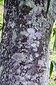Cecropia obtusifolia 18zz.jpg