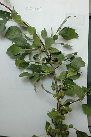 Rhamnus petiolaris - Rhamnus petiolaris