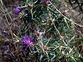 Centaurea calcitrapa ValledeAlcudia.jpg