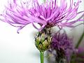 Centaurea stoebe ssp micranthos 1196030.jpg