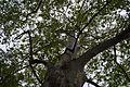 Centennial plane trees, Nova Kakhovka 1.jpg