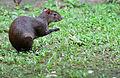 Central American Agouti (Dasyprocta punctata).jpg