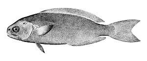 Medusafish - Rudderfish (Centrolophus niger)