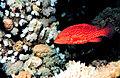 Cephalopholis miniata by NOAA2.jpg