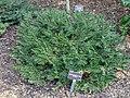Cephalotaxus harringtonia var. koreana - J. C. Raulston Arboretum - DSC06160.JPG