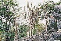 Cereus pierre-braunianus Esteves from website Eddie Esteves (O Paraiso).jpg