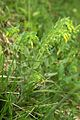 Cerinthe minor PID1235-2.jpg