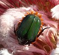 Cetoniinae Protea magnifica2.jpg