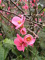 Chaenomeles japonica 1.jpg