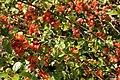 Chaenomeles japonica bush.jpg