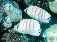 Chaetodon multicinctus by NPS
