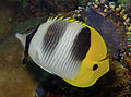 Chaetodon ulietensis Pacific Double-saddle Butterflyfish by Nick Hobgood.jpg