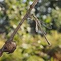 Chalcolestes viridis - Andricus coriarius 20150714a.jpg