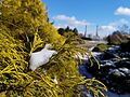 Chamaecyparis pisifera 'Filifera Aurea' (32479376612).jpg