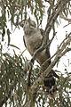 Channel-billed Cuckoo Australia.jpg