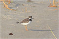 Charadrius hiaticula at Fayoum by Hatem Moushir 2.JPG