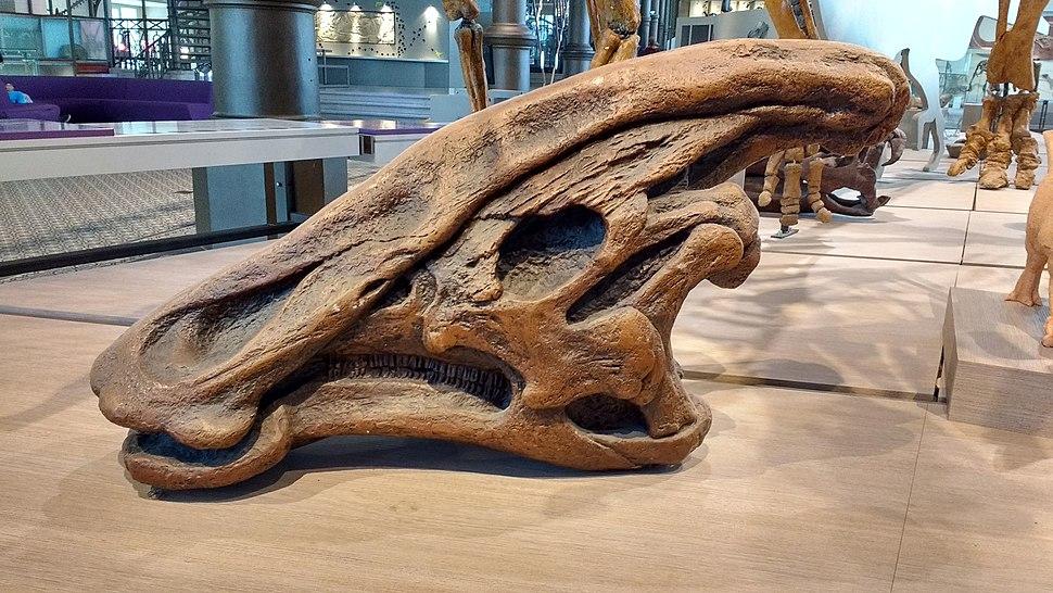 Charonosaurus jiayinensis.001 - MSNBrussel