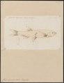 Chela clupeoides - 1774-1804 - Print - Iconographia Zoologica - Special Collections University of Amsterdam - UBA01 IZ15000160.tif