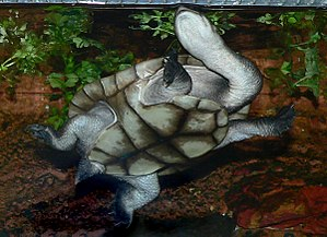Eastern long-necked turtle - Ventral view of female