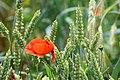 Chemnitz botanischer garten klatschmohn im weizen.JPG