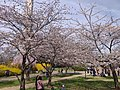 Cherry Blossoms in March.jpg