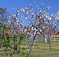 Cherry Tree, Cherry Valley, CA 3-13 (15668376662).jpg