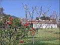Cherry Trees and Barn, Cherry Valley 3-23-13 (8595976676).jpg