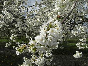 Wiesbaden-Frauenstein - Cherry blossom, 2014