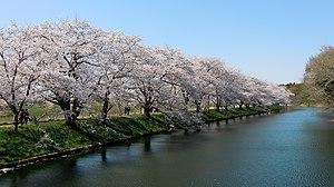Tsukubamirai, Ibaraki - Sakura at Fukuoka Dam Park