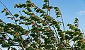 Cherry tree moving in the wind 6.jpg