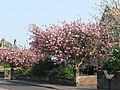 Cherry trees - geograph.org.uk - 548094.jpg