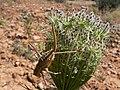 Chicharra alicorta (Ephippiger ephippiger) (31549374548).jpg