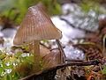 Chinese umbrella mushroom (5501060078).jpg