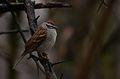 Chipping Sparrow (33848436566).jpg
