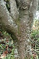 Chiranthodendron pentadactylon kz1.jpg