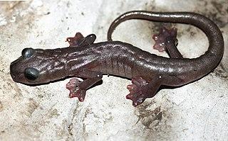Bigfoot splayfoot salamander species of amphibian
