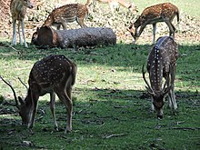 Chital or Spotted Deer.JPG