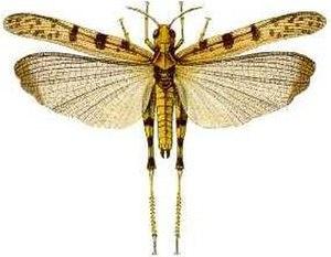 Australian plague locust - Image: Chortoicetes terminifera (Walker) cain 629