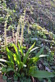 Christmas Fern & Ramps (7074123737).jpg