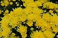 Chrysanthemum Okra 1zz.jpg
