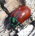 Chrysolina grossa. Male - Flickr - gailhampshire.jpg