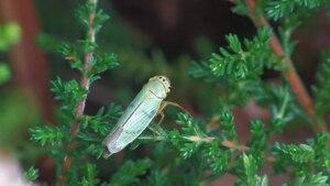 File:Cicadella viridis.ogv