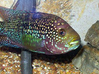 Jack Dempsey cichlids in Australia