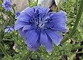 Cichorium endivia flower (1).jpg