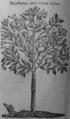 Cinchona pubescens 1696.png