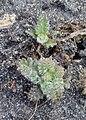 Cirsium acaule kz05.jpg