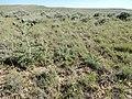 Cirsium flodmanii (26972309903).jpg